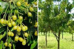 Planta neem propiedades curativas