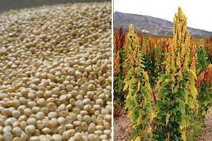 Chenopodium quinoa  Wikipedia la enciclopedia libre