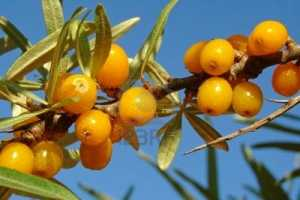 Imagen ilustrativa del artículo Propiedades medicinales del Espino Amarillo